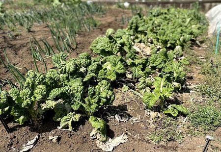 すくすくと育っています!農園の野菜たち