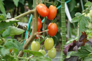 野島農園、有機野菜、ミニトマト、ピクルスの素材